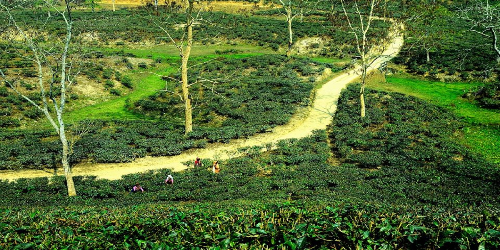 Tea Resort Banglo Tea Garden